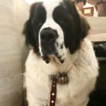 ようこそ セントバーナードにsaintbernard犬に感激!