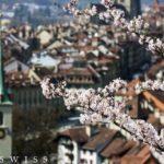 ソメイヨシノの開花が発表されました